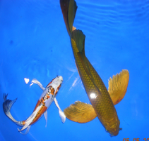 for Live butterfly koi for sale